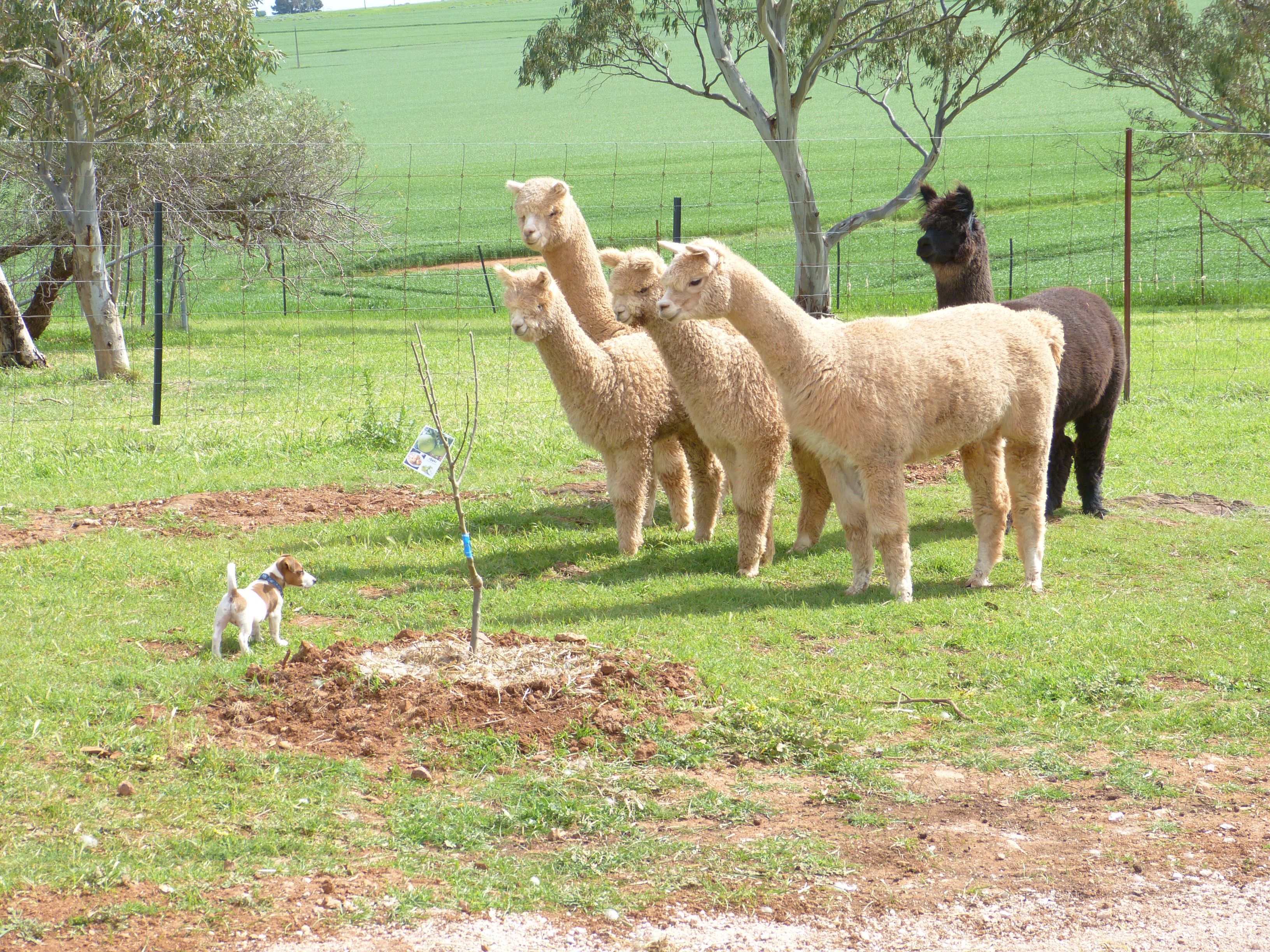 Dog and Alpaccas